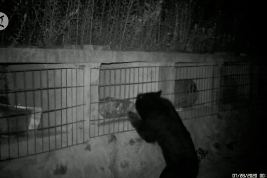 Beruang hitam Asia mencuri madu di China barat daya
