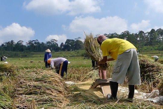 Panen padi di lahan seluas 28 ribu hektare di Temanggung