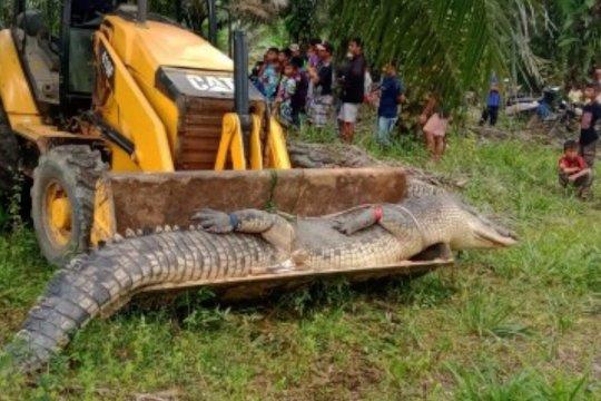 Warga Babel evakuasi buaya raksasa dengan buldoser
