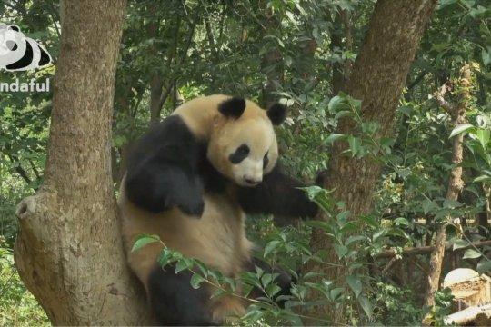 Aksi menggemaskan panda raksasa di atas pohon