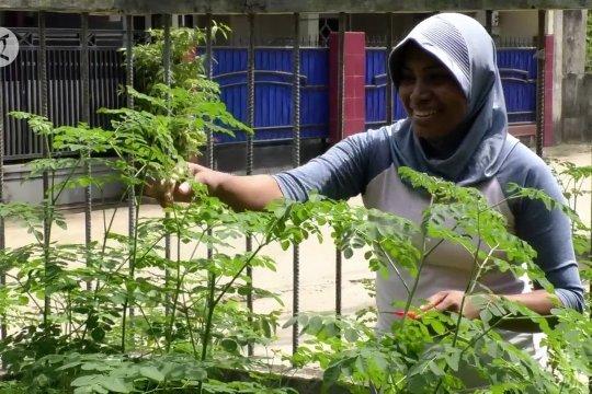 Budidaya daun kelor sehat dan menguntungkan di masa pandemi
