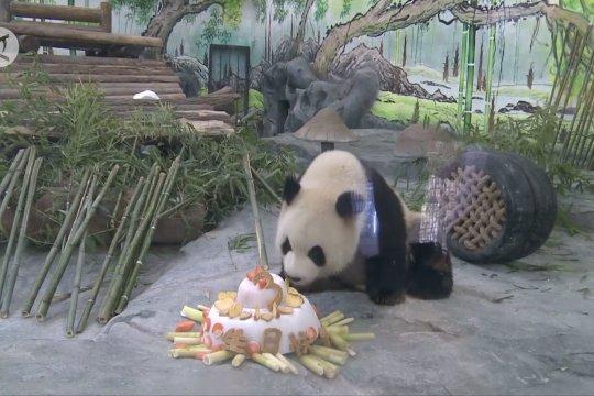 Panda raksasa Xing'an rayakan ultah di China selatan