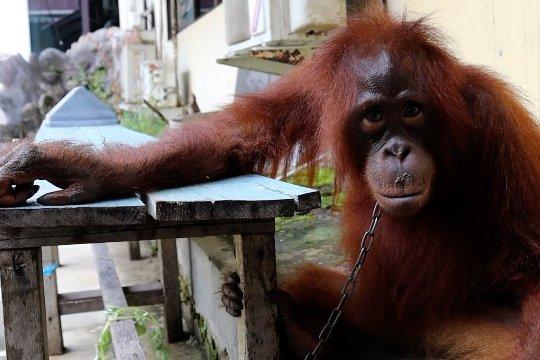 Polres Mempawah temukan warga miliki orangutan
