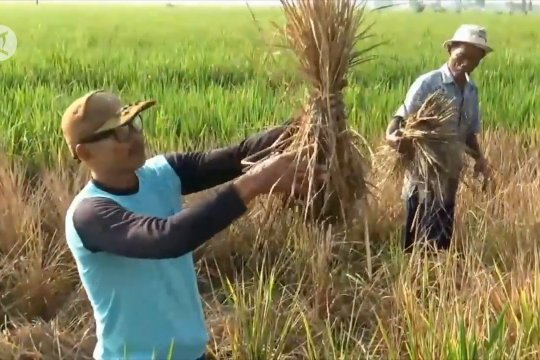Ratusan hektare padi di Madiun diserang wereng