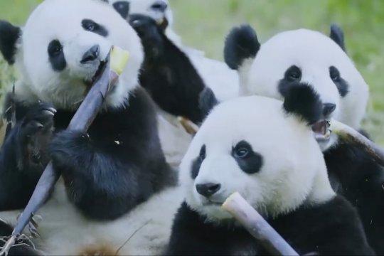 Pertunjukan daring habitat panda raksasa diluncurkan di Sydney