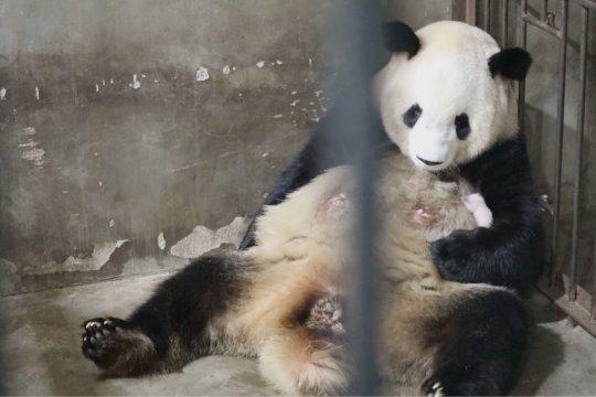 Induk panda raksasa susui bayi mungilnya