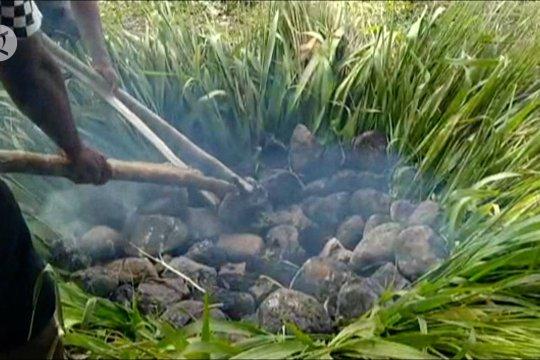 Mahasiswa Papua di Ternate gelar ritual bakar batu rayakan wisuda