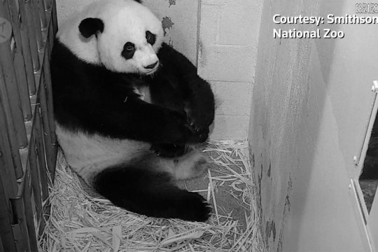 Panda raksasa memeluk bayi barunya yang sehat di Washington