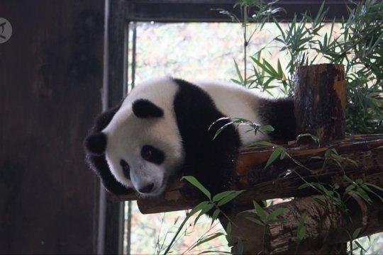 Shanghai cari nama untuk bayi panda raksasa