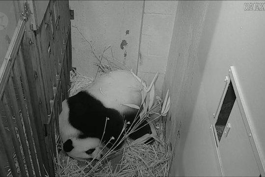 Panda raksasa Mei Xiang melahirkan di kebun binatang AS