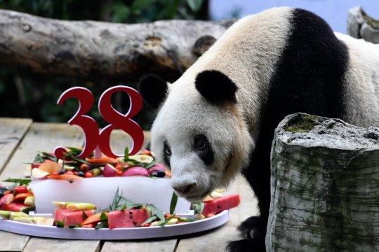 Panda raksasa penangkaran tertua di dunia rayakan ultah ke-38