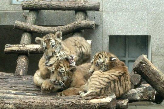 Anak kembar empat harimau Siberia yang menggemaskan
