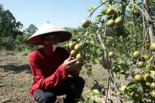 Kementan bidik Batang untuk pengembangan jeruk lokal
