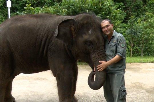 Yangniu, gajah Asia yang diselamatkan saat bayi kini tumbuh sehat di Yunnan