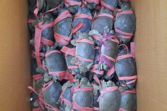 KKP lepasliarkan kepiting bakau hasil sitaan di Banyuwangi