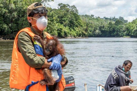 Petugas konservasi selamatkan bayi orangutan di Ketapang