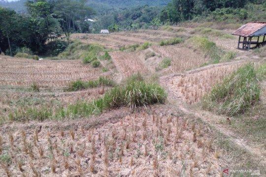 Sekitar 1.000 hektare sawah di Karawang terancam kekeringan