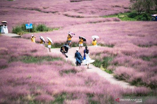 Wisata rumput pink di China