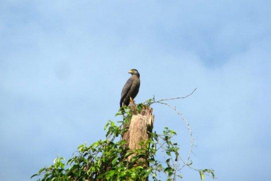Perusahaan sawit konservasi burung pemangsa di Kalimantan