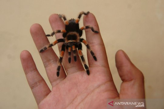 Peternak tarantula di Tegal