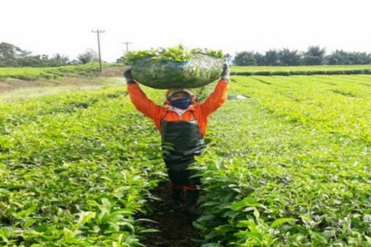 PTPN IV bersiap jual teh secara ritel