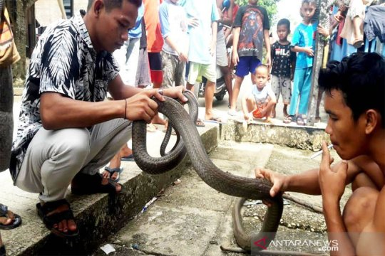 Warga Barito Utara  tangkap ular kobra sepanjang 4 meter
