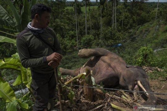 Seekor gajah sumatra liar ditemukan mati di Pidie