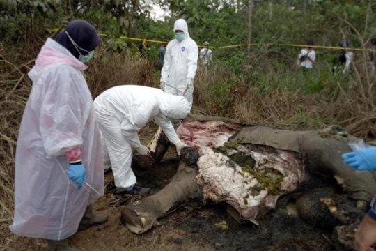 BKSDA Aceh turunkan tim periksa kematian gajah di Pidie