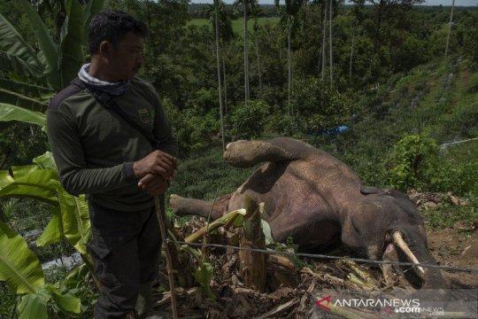 BKSDA: Gajah mati di Pidie diduga tersengat listrik