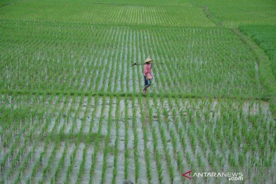 Berharap bantuan, 800 hektare lahan padi di Bekasi terancam kekeringan