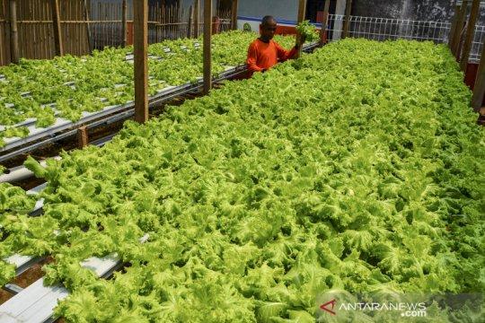 Bertani hidroponik untuk ketahanan pangan