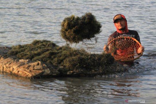 KKP hasilkan bibit unggul komoditas rumput laut