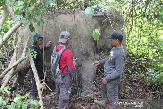 BKSDA pasang alat pelacak posisi gajah liar di Aceh Timur