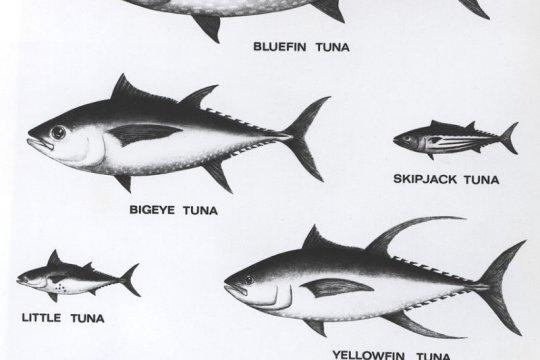 Sekolah Usaha Perikanan Menengah Bone ekspor ikan tuna ke Jepang
