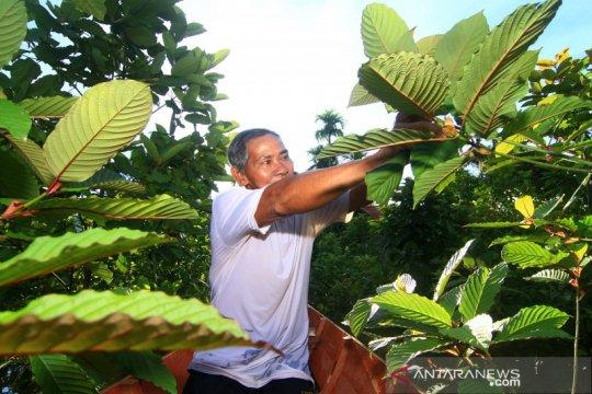 Kratom jadi komoditas pertanian unggulan di Kapuas Hulu