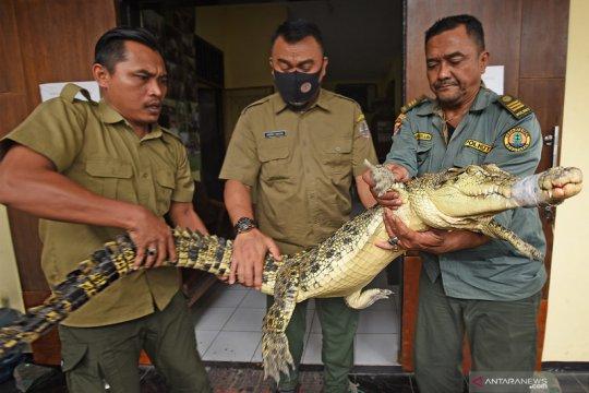 BKSDA Banten amankan buaya muara