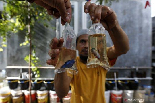 Budidaya ikan cupang di masa pandemi