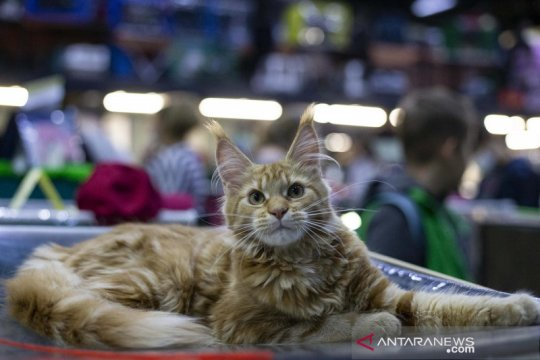 Menengok pameran kucing di Moskow