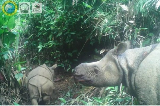 Semarakkan HKAN, dua anak Badak Jawa lahir di TN Ujung Kulon