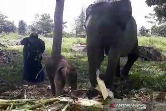 Gajah sumatera korban jerat melahirkan di PLG Minas Riau