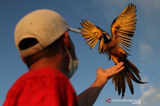 Melatih burung macaw