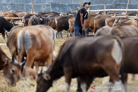 Sulsel fokus pengembangan sapi limosin di 5 daerah