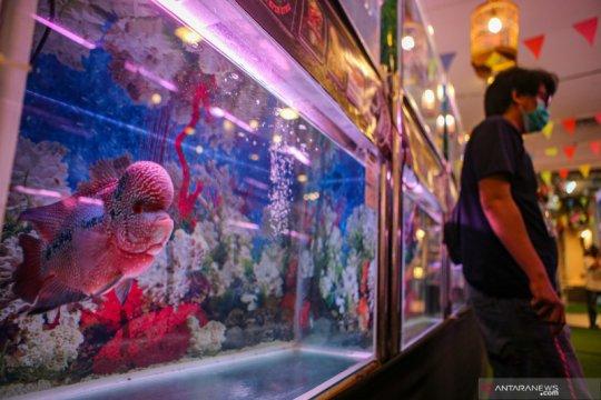 Kontes Ikan Louhan Nasional di Tangerang