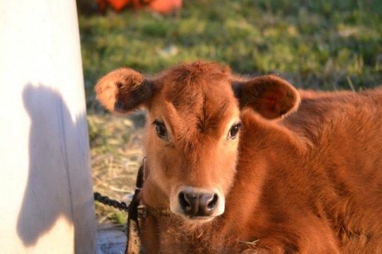 Mengenal susu Jersey dari sapi cokelat yang mungil