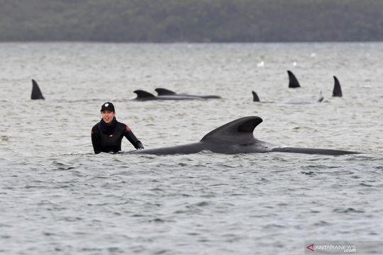 Ratusan paus pilot terdampar di Tasmania