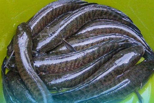 Dirjen KKP ingatkan ikan gabus komoditas unggulan berbasis lokal