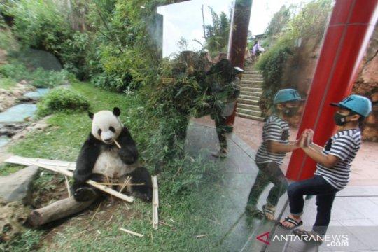 Taman Safari Bogor peringati tiga tahun kedatangan satwa panda