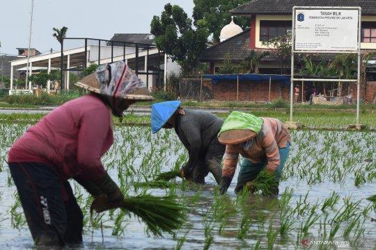 Luasan panen padi Jakarta awal 2021 diprediksi turun