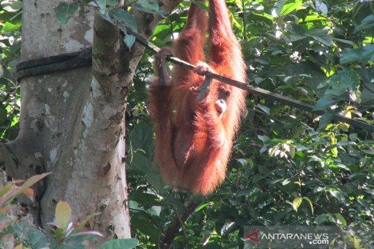 BKSDA: Satu individu orangutan lahir di cagar alam Jantho