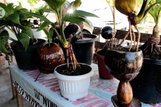 Tanaman bonsai kelapa mulai digemari di Aceh